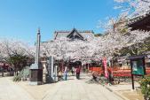 Xuất hành đầu xuân, ngắm hoa anh đào nở sớm ở Wakayama, Nhật Bản