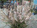 Ấn tượng với các hoạt động tại lễ hội hoa anh đào Nhật Bản tại Hà Nội