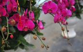 Nấu chuối tưới cho phong lan, 1 tuần sau hoa tuôn như suối