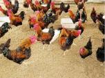 """Mặc gia đình phản đối, chàng trai vẫn sở hữu trang trại gà """"khủng"""""""