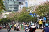 Ngắm hoa kèn hồng nở rộ giữa Sài Gòn