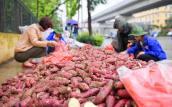 Hàng trăm tấn khoai lang Nhật vượt 1.300km ra Hà Nội để được