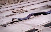 Nuôi rắn độc: Tha hồ ôm vàng ròng đổi lấy siêu xe sang