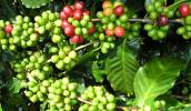 Phát hiện loại axit trong cà phê xanh có khả năng ức chế tế bào ung thư