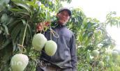 Mê mẩn vườn xoài trái