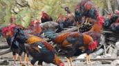 Sốc: U70 xứ Lạng nuôi gà