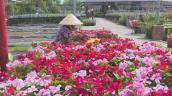 Hoa dừa cạn siêu bông siêu đắt nhiều người vẫn săn đón