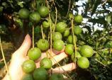 Nông dân thành đại gia nhờ loài cây ra quả sai như sung, ăn vài hạt khỏe cả người