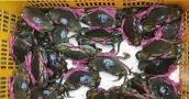 Vì sao cua biển bán sang Trung Quốc rẻ bất thường 46.000 đồng/kg?