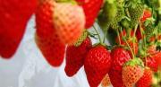 Từ A - Z cách trồng dâu tây Nhật đang hot