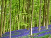 Hallerbos - Con đường đi dạo mùa xuân đẹp nhất tại Bỉ