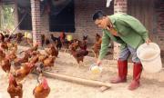 Tuyệt chiêu thành tỷ phú không ngờ của chủ trang trại gà
