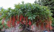 Bí kíp trồng lộc vừng cho sum suê hoa, làm cảnh siêu đẹp