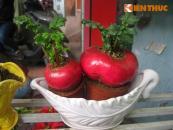 Bonsai củ cải lên đời cây cảnh dịp Tết 2018