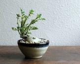 Mê tít bonsai khoai tây bé như ngón tay tuyệt đẹp