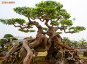 Siêu cây sanh 30 tỷ không bán của đại gia Phú Thọ