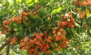 Ngắm vườn chôm chôm Việt lần đầu xuất khẩu sang New Zealand