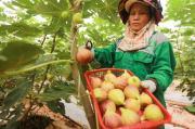 Tò mò với những trái sung Mỹ cực đắt đỏ, giá hơn nửa triệu/kg