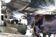 Giá sữa thấp hơn nước lọc, nông dân Củ Chi lỗ hàng chục triệu