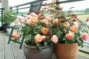 Bí kíp trồng hoa hồng bằng cành nhanh, gọn mà cây vẫn ra hoa to