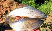 Về Tây Bắc ăn đặc sản trời ban - cá sỉnh