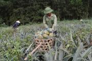 Dứa ngọt giảm giá sốc, chua chát lòng nông dân