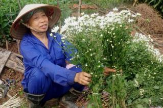 Cúc họa mi làm nóng thị trường hoa Hà Nội